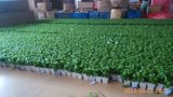 Plantes et fleurs artificielles de la centrale succulente Gu-Jys-00031