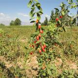 Cura di pelle di Wolfberry della bacca di Goji della nespola