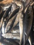 Bevroren Atlantische Makreel (scombrus Scomber)