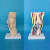 Medizinische Anatomie-zerteilt menschliche Knie-Verbindung Skeleton Modell (R040106)