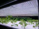 Pflanzengewächshäuser LED wachsen Licht