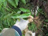 Extrato orgânico do Epimedium de Icariin da erva da natureza