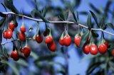 Bacca fresca del Ningxia Goji (Wolfberry)