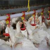 Bon prix ! Système de raccord automatique de volaille/buveur potables de poulet
