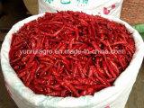 Pimentões de Tian Jin sem haste