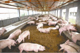 Inoculant spécial pour l'alimentation des animaux Avec l'extrait de centrale