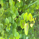 Natürliches Qualitäts-Sarsaparille-Wurzel-10:1 Auszug-Puder