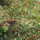 Природа Ningxia органическое Wolfberry Lbp мушмулы