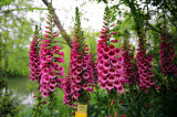 Purpurrotes Blumen-Fingerhut-Blatt-Auszug-Puder-5:1-10:1