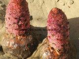 2% Acteoside Cistanche Tubulosaのエキス