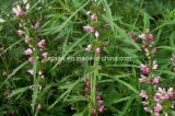 Hidrocloro do extrato 98% Stachydrine do Motherwort