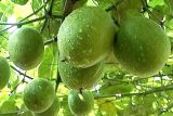 Auszug Mönch-Frucht-Auszugluo-Han Guo/Funktionsstoffe