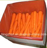 Китай. Моркови зеленых овощей свежие с дешевым ценой