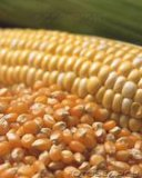 Repas de gluten de maïs fait en meilleur maïs de qualité
