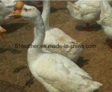 Responsável lavado White Goose Down 95% (EN12934, EUA-2000, JIS, GB / T17685-2016)