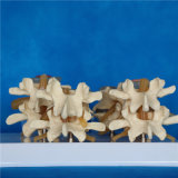 Columna vertebral humana Esqueleto Médico Modelo para la enseñanza (R020701)