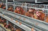 H tapent la cage de poulet de couche