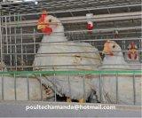 Système de cage de poulet à rôtir de couche pour la ferme de poulet à vendre (un type bâti)