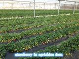 IQF Erdbeere oder gefrorene Erdbeere