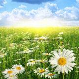 Естественная выдержка стоцвета с апигенином 98%