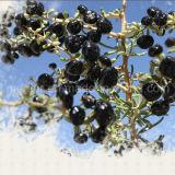 Чернота Goji Wolfberry еды здравоохранения мушмулы