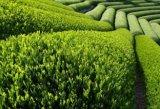 Grüner Tee extrahierte 98% der grüne Tee-Polyphenol