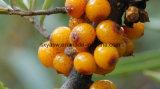 Pó natural do extrato de Seabuckthorn da flavona de Seabuckthorn (fruta)