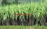 Fertilizzante di EDDHA-Te del rifornimento di Chengdu