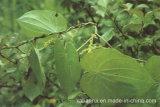 Hersteller-natürlicher Yamswurzel-Rhizom-Auszug /Powder