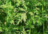Estratto 98%Artemisinin dell'artemisia per i prodotti farmaceutici