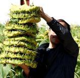 中東への2016の新しい穀物のヒマワリの種363