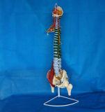 Het medische Model van het Skelet van de Ruggewervel van het Onderwijs Menselijke Ruggegraats (R020706)