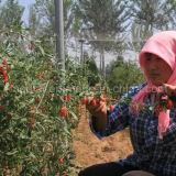 Bayas chinas orgánicas de Wolfberry Goji del níspero