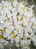 Piccolo sacchetto della maglia che imballa aglio bianco puro