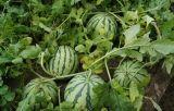 微量栄養が付いている液体肥料の有機物酸そしてNPK肥料