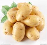 Neues Crop Fresh Potato in Carton/in Top Quality