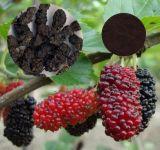 뽕나무 과일 추출