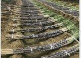 Melhoria de solo de Unigrow para o Sugarcane, índice do açúcar do aumento