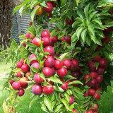 Fertilizzante della polvere 52% dell'amminoacido di sorgente della pianta