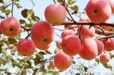 중국 신선한 새로운 작물 단것 Apple