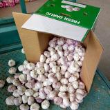 Karton, der normalen weißen Knoblauch (4.5cm, packt und up)