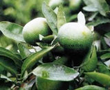 Zitrusfrucht Aurantium Auszug verlieren Gewicht 6% 30% Synephrine