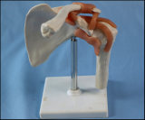 Modello funzionale di sinistra umano della giuntura di spalla con il legamento