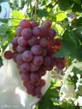 Pp Niet-geweven voor de Dekking van het Fruit met Goede Kwaliteit