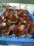 다즙 플랜트 구 SD0377의 인공적인 플랜트 그리고 꽃