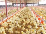 Equipos automáticos de las aves de corral del conjunto completo para el pollo tomatero