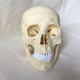 [هيغقوليتي] علميّة تعليم جمجمة إنسانيّة نموذج طبّيّ ([ر020611])