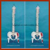 Modello flessibile della colonna vertebrale con le teste del femore ed i muscoli verniciati