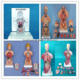 85cm Anatomía Humana Multi-Género Torso Modelo (38 PCS)