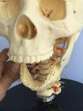 Qualitäts-menschliches Skeleton Anatomie-Knochen-Modell (R020610)